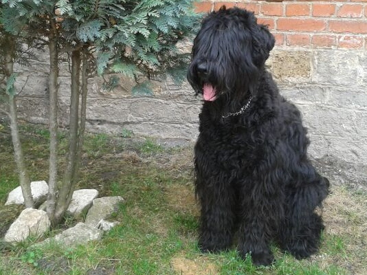 Gina Russischer Terrier aus Büchel