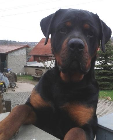 Rocky Rottweiler aus Bad Berka
